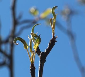 emerging tree leaves
