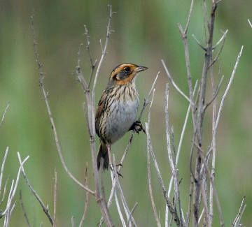 The Saltmarsh Sparrow. Credit: Dominic Sherony